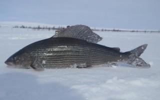Зимние мормышки на хариуса – мушки, напайки и кембрики