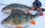 Ловля крупного окуня зимой, тактика поиска и снасти