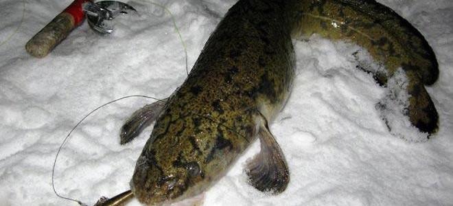 Все о ловле налима в декабре – где искать и как ловить