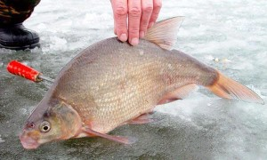 Спускник на леща зимой (комбайн) — оснастка и процесс ловли