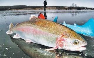 Ловля форели зимой на платниках и диких водоемах