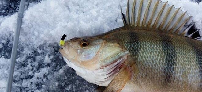 Хитрости ловли окуня на безмотылку по первому льду – техника проводки и поиск