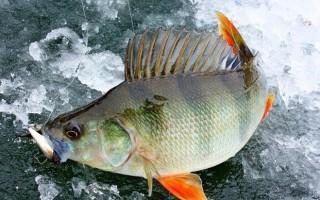 Хитрости ловли окуня по первому льду – тактика, снасти и приманки