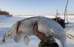 Приманка краб для ловли щуки зимой — правильная техника и оснастка
