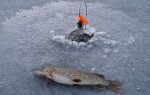 Особенности ловли щуки жерлицами по первому льду – важные моменты поиска и оснащение