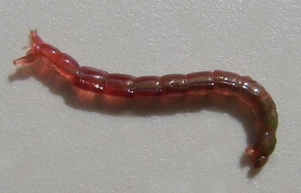 Увеличение личинки