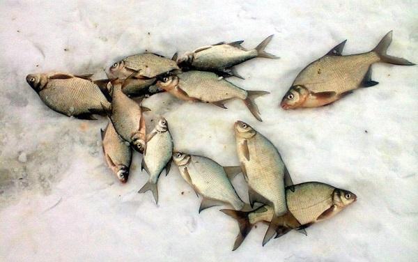 Лещи на льду
