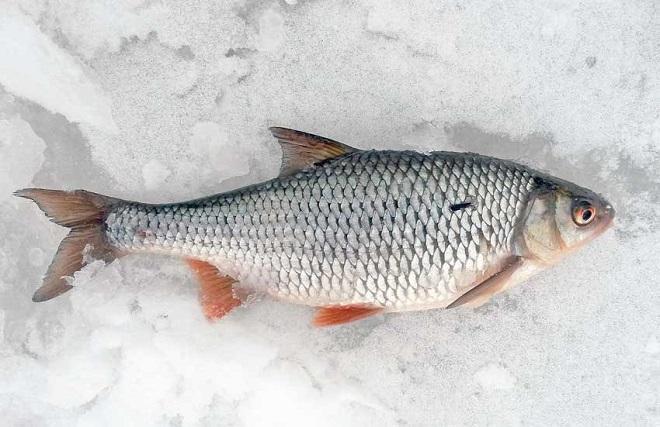 Как ловить плотву зимой и какую мормышку выбрать