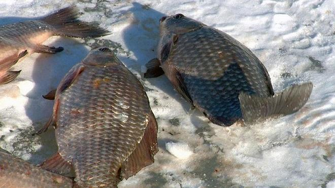 Замерзшие карасики