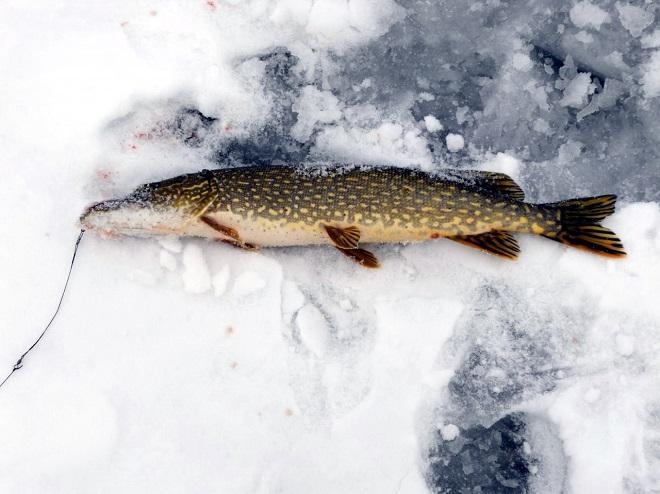 Как ловить щуку зимой на блесну техника и тактика ловли